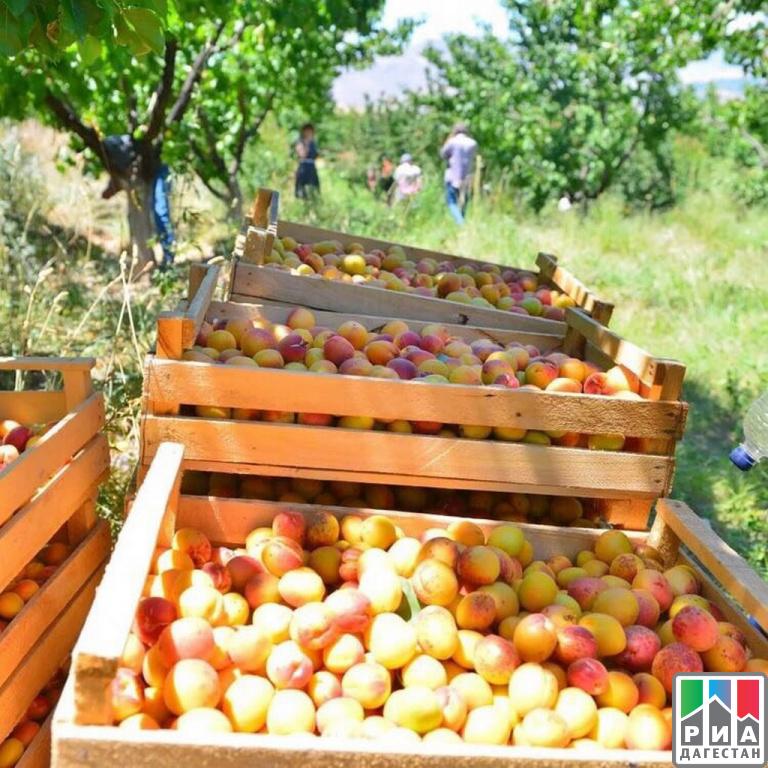 ВАхтынском районе собран небывалый урожай косточковых