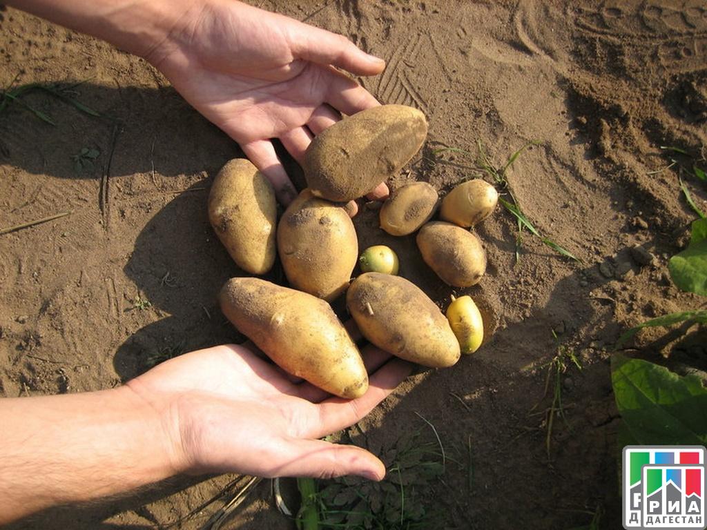 Аграрии Дагестана планируют собрать 142 тысячи тонн плодов
