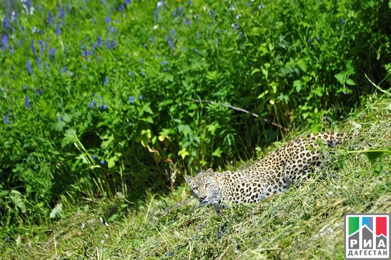 Камеры ГЭС вСеверной Осетии «поймали» краснокнижного леопарда