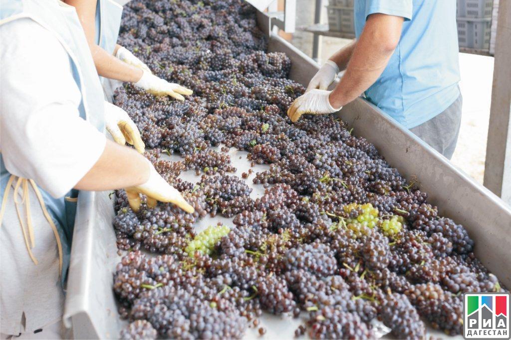 Впервый раз за26 лет вДагестане собрали 170 тыс. тонн винограда