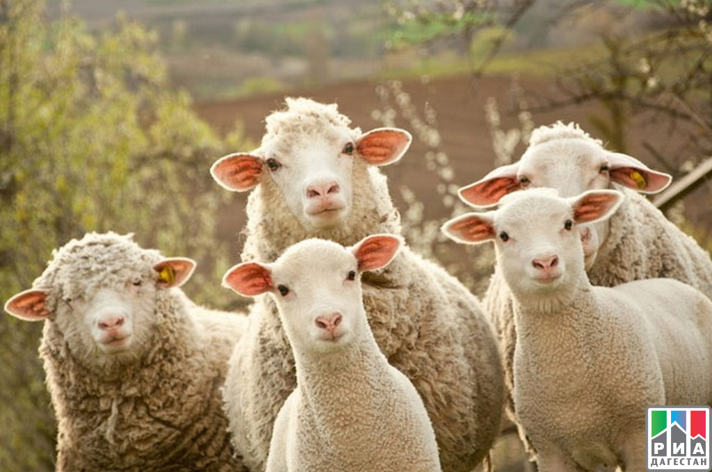 ВМинсельхозпроде республики представили обновленный тип горной породы овец