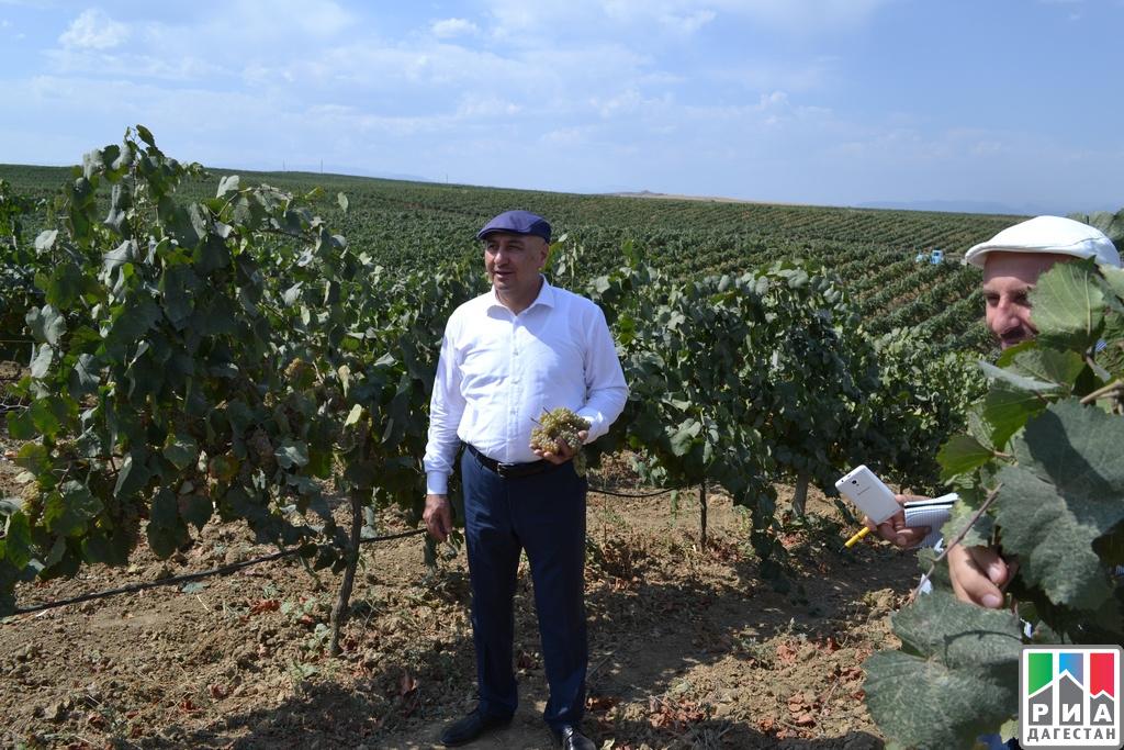 ВДагестане побит рекорд посбору урожая винограда