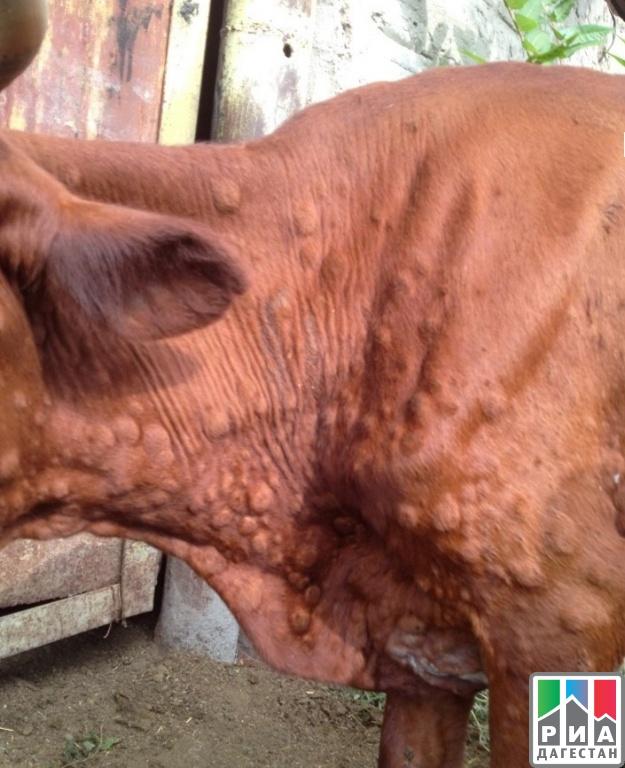 Дерматит у коров: лечение КРС, межпальцевый дерматит