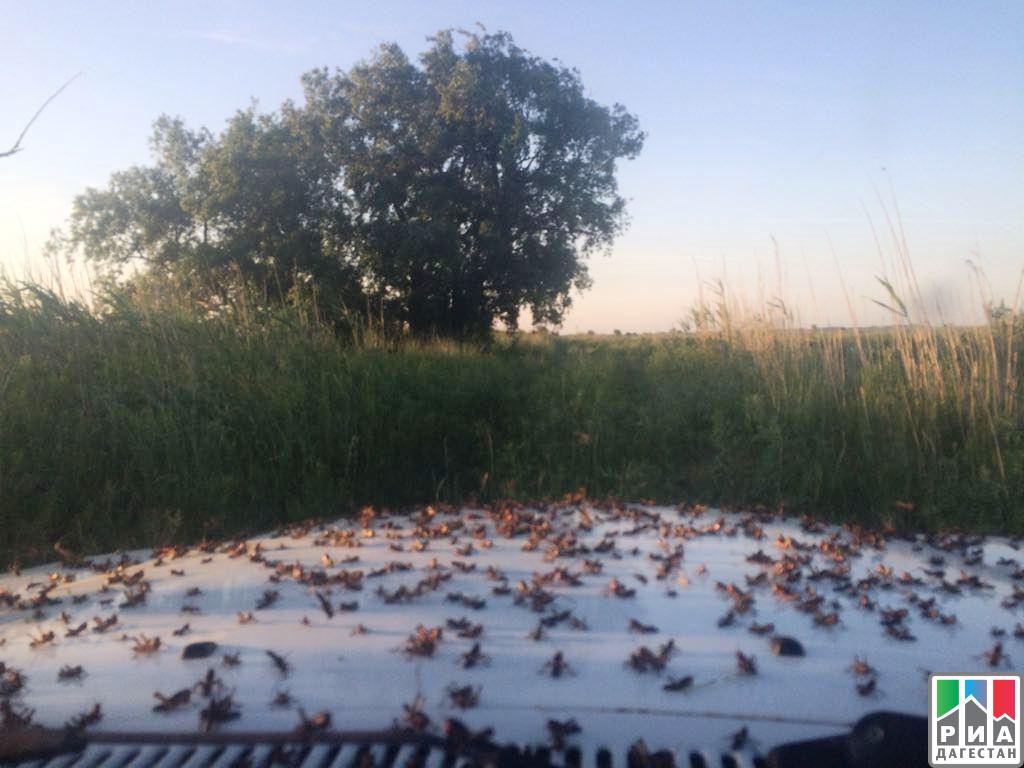 Информация опроводимых мероприятиях поборьбе ссаранчовыми вредителями вРеспублике Дагестан
