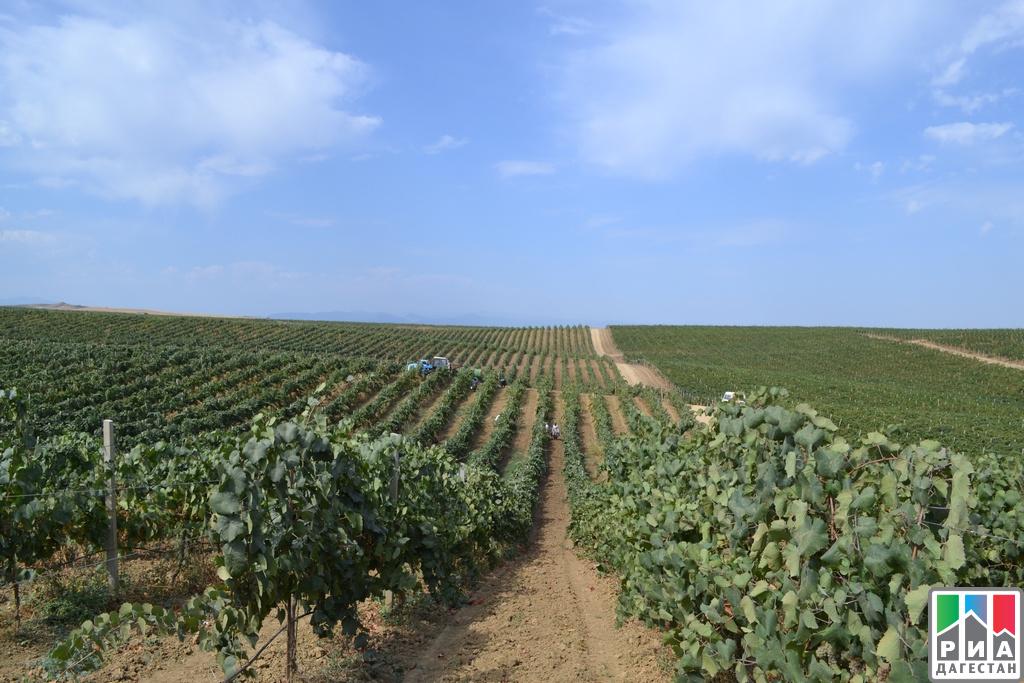 Рекордное количество винограда собрано вДагестане