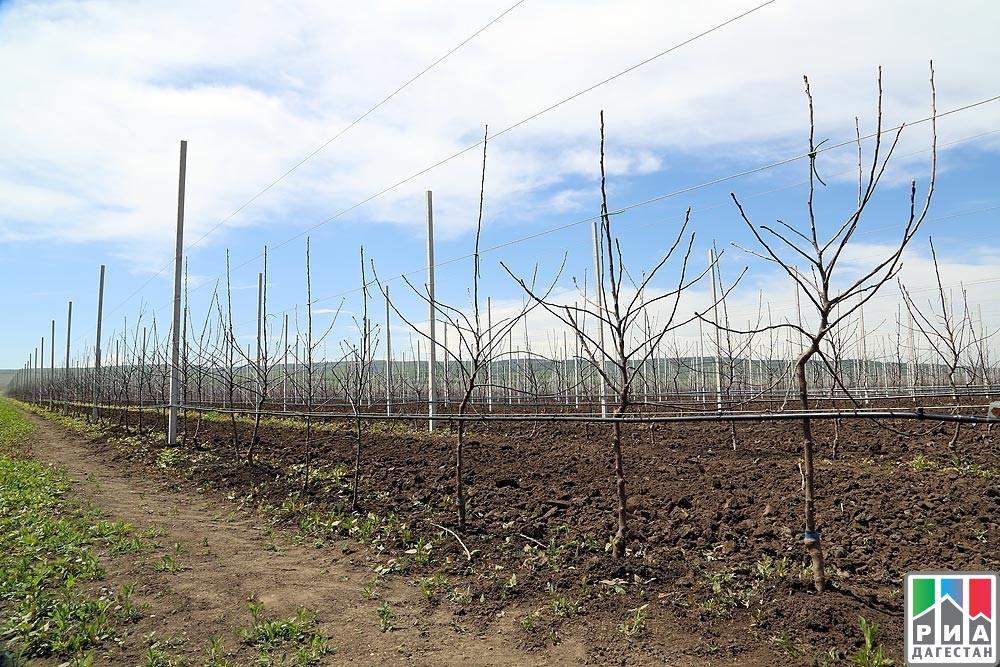 Аграрии Дагестана осенью планируют заложить 900 гасадов