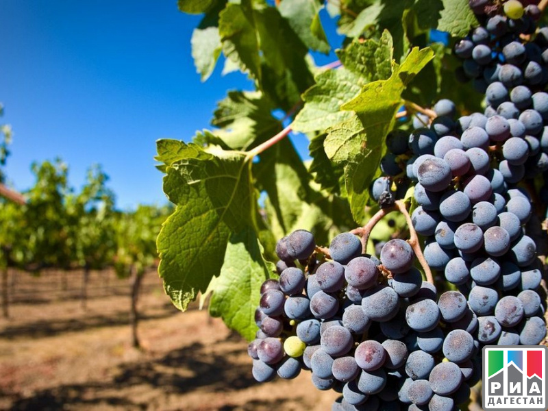 ВДагестане началась уборка винограда