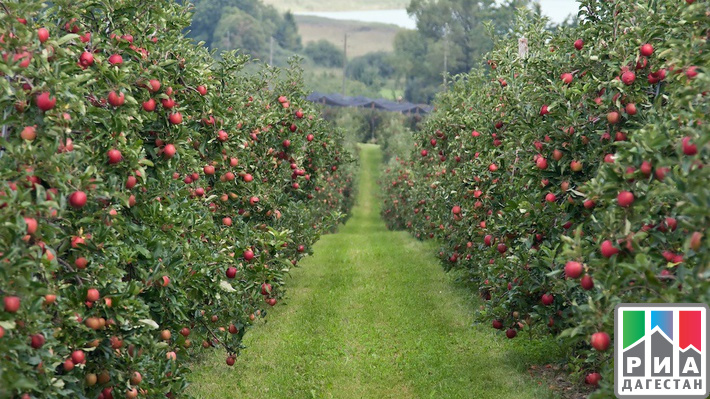 ВДагестане обогнали план повесенней закладке виноградников