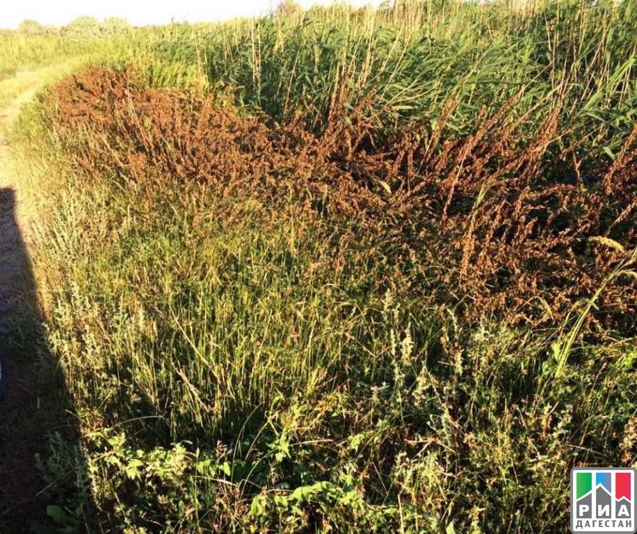 ВДагестане обработано неменее 20 тыс. гектаров земель, заряженных саранчой